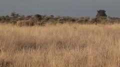 Black rhino (Nagarjun) Tags: safaritrektourscoke safari nairobinationalpark kenya africa wildlife mosesnjomo brown dawn morning sunrise sunshine