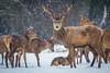 Snow day | Red deer | Cervus elaphus (Bertie Allison) Tags: canon60d canon100400mml reddeer cervuselaphus nature wildlife wildlifephotography bristol england ashtoncourt