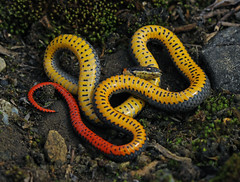 Prairie Ringneck Snake (Diadophis punctatus arnyi) (2ndPeter) Tags: prairieringnecksnake prairie ringneck snake diadophispunctatus arnyi diadophis punctatus serpent scales reptile wild wildlife creature critter animal canonrebelt3i canon rebel t3i 100mmmacrolens 100mm macro lens peterpaplanus peter paplanus missouri dolomiteglade dolomite glade herp herping winter spring march