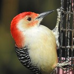 1001ex  Red-bellied Woodpecker **Explore** thumbnail