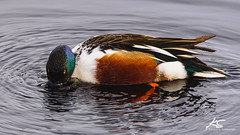 _DSC6333.jpg (kasperisummanen) Tags: birds nisquallynationalwildliferefuge wa pnw wildlife