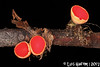 Sarcoscypha sp. (Luís Gaifém) Tags: sarcoscyphasp sarcoscypha sarcoscyphaceae pezizales elfcup luísgaifém macro natureza nature fungi fungo cogumelo mushroom ribeiradetendais