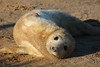 Hi there (jpotto) Tags: uk lincolnshire donnanook animal seal pup