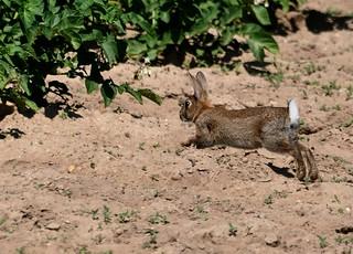 Oryctolagus cuniculus - European Rabbit - Lapin européen ou Lapin de garenne - 25/06/10
