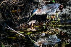 Green Heron About To Spear His Next Meal (halladaybill) Tags: greenheron huntingtoncentralpark orangecounty california seaandsageaudubonsociety nikond850 nikkor200500zoom