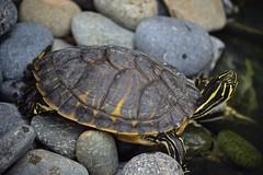 Slip Slidding Away (ACEZandEIGHTZ) Tags: nikon d3200 terrapin turtle pond backyard amphibian striped saariysqualitypictures hieroglyphic river cooter freshwater stones pseudemys concinna