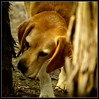 My nose was made for sniffin' (bushman58929) Tags: beagle