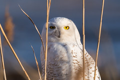 Snowy Owls of New Jersey | 2018 - 6 (RGL_Photography) Tags: birding birds birdsofprey birdwatching buboscandiacus gardenstate hudsoncounty mothernature nature newjersey nikonafs600mmf4gedvr nikond500 ornithology owls raptors snowyowl us unitedstates wildlife wildlifephotography beachowl