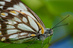 The Wind Beneath My Wings (setoboonhong) Tags: nature butterfly colours eyes feelers leaf macro depth field blur bokeh patterns wings song the wind beneath my bette milder
