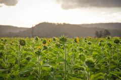 cherriehughesphotographer-9946 (bilateral) Tags: sunsetsymphonyinthesunflowers sunflowers sugarcane celebration music orchestra sakwolo assi australiansouthseaislander agriculture concert farm simonmattsson sugarvsthereef