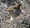 Too Cute? (caboose_rodeo) Tags: 828 squirrel critter calfpasturebeachnorwalkct favorite explore iseemtohavecrackedtheexplorealgorythm furry