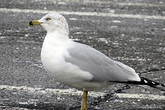 Ring-billed Gull (Anne Ahearne) Tags: gull seagull wild animal nature wildlife shorebird shore urban ringbilled