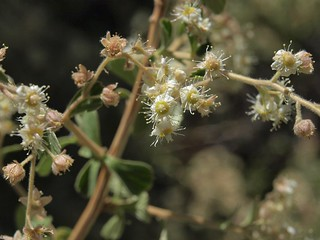 littleleaf creambush, Holodiscus microphyllus
