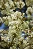 White Sakura (YY) Tags: hirosakicastle cherryblossom festival aomori japan 弘前城 弘前 青森 日本 sakura flowers park