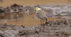 Masked Lapwing (1) (Richard Collier - Wildlife and Travel Photography) Tags: wildlife naturalhistory nature australia australianbirds birds maskedplover coth5