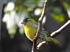 Eurasian Siskin (Corine Bliek) Tags: carduelisspinus bird birds vogel vogels natuur nature wildlife winter migratory wintergast trekvogel yellow colourfull garden tuin