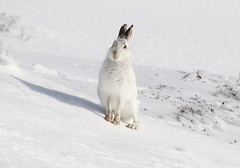 Mountain Hare - Scotland (Ally.Kemp) Tags: mountain hares scotland scottish cairngorm national park glenshee lepus timidus winter white snow hare highlands aberdeenshire ski center