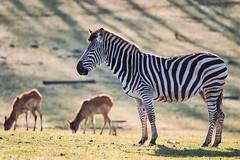 chauffe matinale (rondoudou87) Tags: zèbre zebra pentax k1 parc park parcdureynou zoo reynou smcpda300mmf40edifsdm sauvage wildlife wild green grass herbe soleil sun shadow ombre