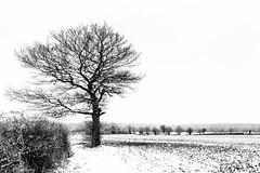 IMG_6755-Edit (mollyblobs) Tags: cambridgeshire castor location quercusrobur unitedkingdom arable snow tree