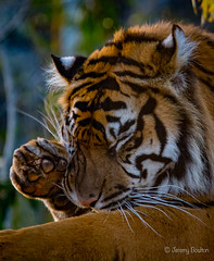 Rub (JKmedia) Tags: big cat bigcat panther boultonphotography chesterzoo cheshire february 2018 portrait animal tiger stripes pantheratigris bokeh paw rub preen clean whiskers scrunch pad pads squashed