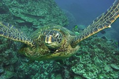 ever onward (BarryFackler) Tags: honu greenseaturtle marinereptile cheloniamydas turtle hawaiiangreenseaturtle seaturtle cmydas fauna ocean marinelife kona bigisland 2018 westhawaii saltwater polynesia dive life vertebrate scuba barryfackler pacificocean bay coral tropical nature marine sea underwater reef sealifecamera honaunaubay southkona konadiving diving organism ecology aquatic creature biology undersea diver zoology coralreef being marinebiology ecosystem water island hawaiicounty outdoor pacific animal barronfackler seacreature honaunau konacoast bigislanddiving marineecosystem marineecology sandwichislands sealife hawaiiisland hawaii hawaiidiving seawater