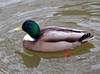 Woerd in de regen (Olga and Peter) Tags: eend duck woerd drake fp1170490