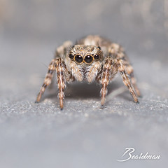 Saltique1 (beardman626) Tags: saltique salticidae jumping spider araignée sauteuse hunt chasse saut jump prédateur predator eyes oeil look regard yeux