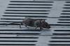Black Rat (Rattus rattus) (Tim Melling) Tags: black ship roof rat rattus rattusrattus timmelling