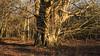 a rustling russet carpet … (HHH Honey) Tags: 118picturesin2018 sonya7rii salisburyplain landscape wiltshire winter leaves 97leaves beech trees russet stark minolta50mmf14macrolens minolta