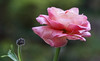 Two Generations (AnyMotion) Tags: persianbuttercup ranunkel ranunculusasiaticus blossom blüte bud knospe floral flowers plant pflanze gardenbokeh 2017 anymotion nature natur frankfurt vase 6d canoneos6d colours colors farben pink rosa green grün ngc npc