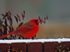 Cardinal Red (greyk200d) Tags: mississippi scene cardinal snow