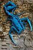 Scorpion under ultraviolet light (pbertner) Tags: rainforest amazon ecuador southamerica sanilodge saniproject2017 yasuninationalpark scorpion arachnid uv ultravioletlight blacklight