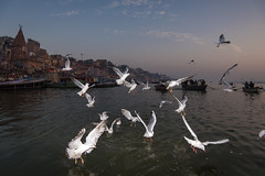 Seagulls at Dawn | Varanasi 2017 (Ravikanth K) Tags: 500px seagull dawn river water morning outdoor birds varanasi kasi fly lowlight uttarpradesh india cwc cwc623 chennaiweekendclickers ganga ganges wings flash