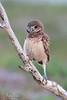 The Watcher (Megan Lorenz) Tags: florida burrowingowl owl owlet bird avian birdofprey nature wildlife wild wildanimals mlorenz meganlorenz
