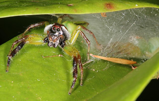 Mr and Mrs Mopsus mormon