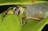 Mr and Mrs Mopsus mormon (Jenny Thynne) Tags: spider salticidae jumpingspider brisbane queensland australia mopsusmormon greenjumpingspider malefemale nest