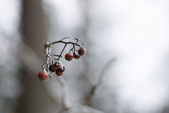 Frozen Rot (Mikko Manner) Tags: nikond7200 nikkor50mmf18g winter fruit rotten branch twig bokeh backgroundblur finland forest snow nature