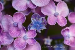 Pink Hydrangea flowers (Anna Calvert Photography) Tags: floral flowers garden macro macrophotography mygarden nature naturephotography petals plants hydrangea pink