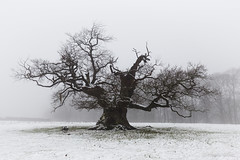 The Elders I (shawn~white) Tags: canon6d historic shawnwhite awe bold cold confidence conviction deciduous enchanting fog hardwood landscape snow spiritual tree trees weather winter woodland croft england unitedkingdom gb