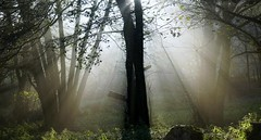 Shine (BphotoR) Tags: bphotor shine fog forest nebel wald woods trees silhouettes november autumn sun light
