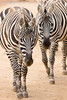 Zebra (mattbeee) Tags: lines mammal stripe stripy zebra zoo