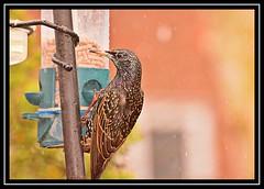 """Snow Starlings..."" (NikonShutterBug1) Tags: nikond7100 tamron70300mm birds ornithology wildlife nature spe smartphotoeditor birdfeedingstation bokeh starling birdsfeeding"