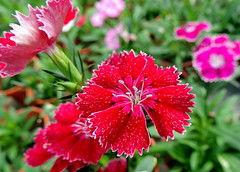 Perfection (Khaled M. K. HEGAZY) Tags: nikon coolpix p520 malaysia cactuspoint cameronhighlands nature outdoor closeup macro dianthus stamen pistil plant flower petal leaf leaves foliage garden red green white pink