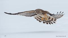 Northern Harrier (Earl Reinink) Tags: bird animal nature winter snow cold ice feathers raptor hawk flight northernharrierhawk earl reinink earlreinink niagara izodhdtdha