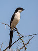 Fiscal Shrike (Thomas Retterath) Tags: adventure wildlife abenteuer tsavowest afrika africa kenya safari natur nature thomasretterath fiskalwürger vögel bird birds vogel animals tiere fiscalshrike