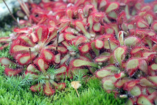 Drosera natalensis Diels (Syn. Drosera venusta Debbert) - Kew Gardens