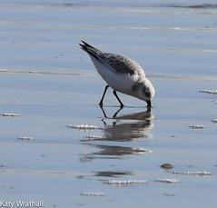 Dunlin hunting (Katy Wrathall) Tags: 2018 eastriding eastyorkshire england february fraisthorpe beach bird coast sea wader winter