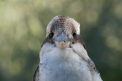 Laughing Kookaburra  (Dacelo novaeguineae) (johnedmond) Tags: perth westernaustralia kookaburra bird wildlife nature sel55210 55210mm ilce3500 sony beak eyes kingfisher