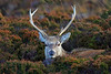 Red Deer, Sand, Highland, Scotland (Terathopius) Tags: reddeer sand applecross highland scotland unitedkingdom uk greatbritain gb cervuselaphus