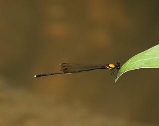Orange-backed Threadtail (Prodasineura croconota) Male